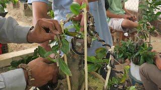 Kỹ thuật đi dây tạo dáng mai bonsai cành quá to và dài (Lê Quý bonsai)