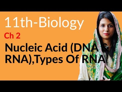 11th Class Biology Chapter 2 Biological Molecules Topic 9,10 Nucleic Acid DNA and RNA, Types of RNA