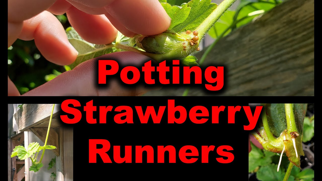 Planting Strawberry Runners, Tips and Strategies In 2020