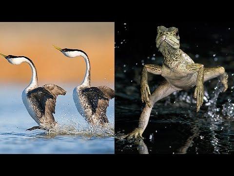 Вопрос: Какие животные могут бегать по воде?