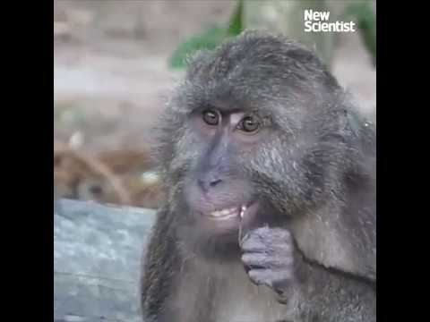 Monkeys floss their teeth