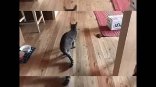 funny cats  try not to laugh challenge  funny cat & dog vines compilation 2017