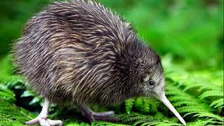 Символ Новой Зеландии — птица Киви
