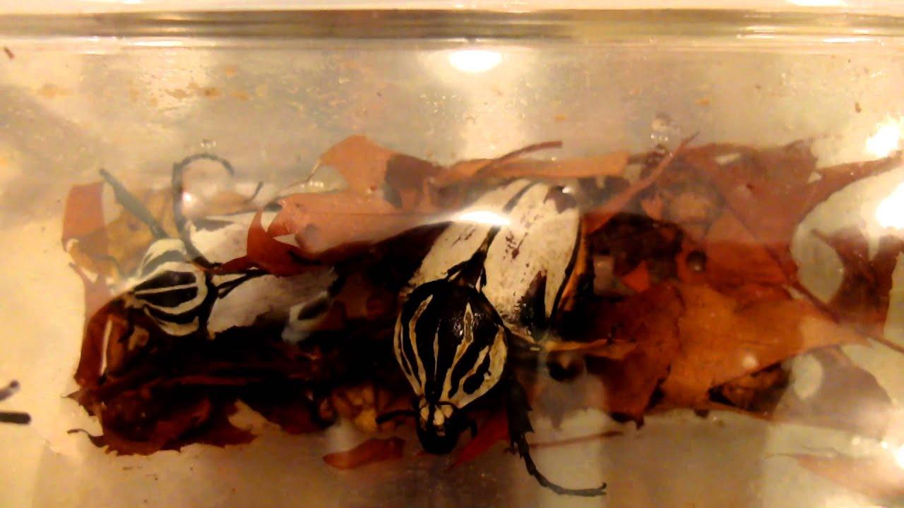Goliathus Goliatus Var Quadrimaculatus Goliath Beetle
