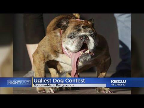 English Bulldog Zsa Zsa Wins World's Ugliest Dog Contest