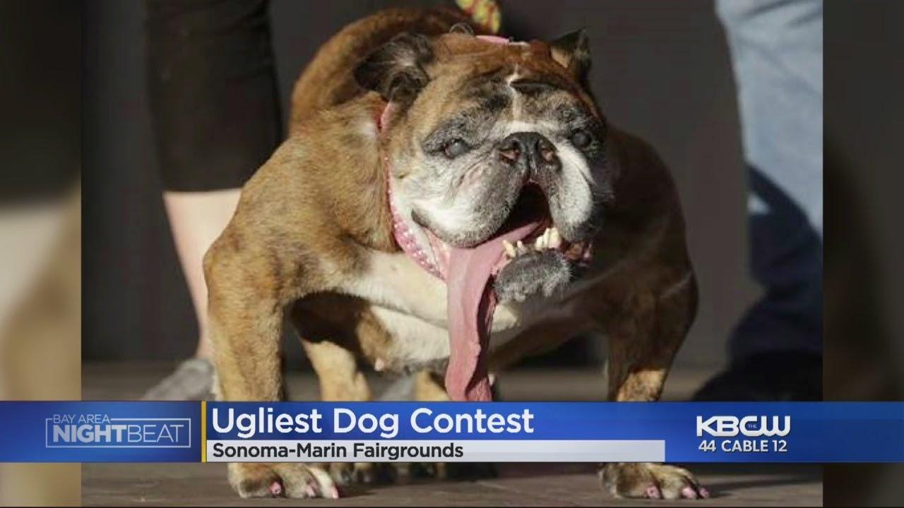 English Bulldog Zsa Zsa Wins Worlds Ugliest Dog Contest Youtube