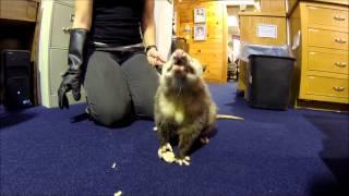 Bert the Virginia Opossum enjoys a banana