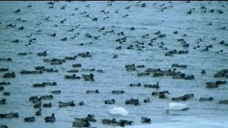Astonishing video captures the moment Thousand of Ducks Invade Mississippi River Minnesota