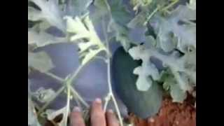 watermelon farming in gujarat
