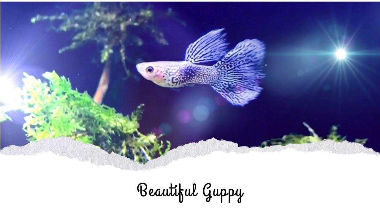 Ikan Hias Tercantik
