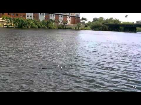 11 Foot Florida Crocodile Swimming in Melbourne Florida - Fierce & Black Croc