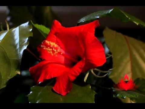 Гибискус - розовый