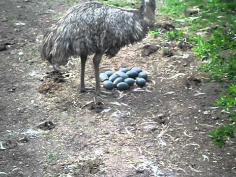 Flamingo Land Zoo Visit 2011- Emu Mother