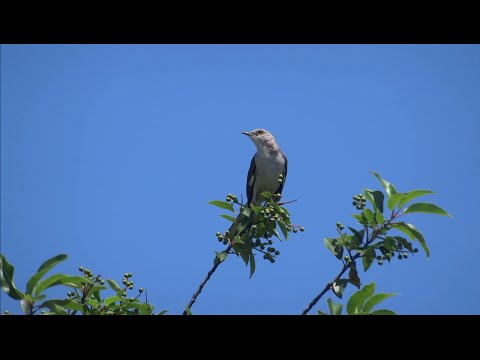 Northern Mockingbird shows off its amazing repertoire of songs