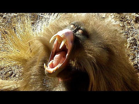 Животные с самыми большими и длинными зубами!