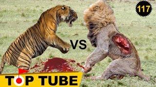 Hổ đánh nhau với Sư Tử con nào thắng? Thế Giới Động Vật Hoang Dã [Top tube 118]