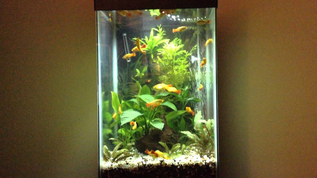 My overcrowded fish tank With real plants