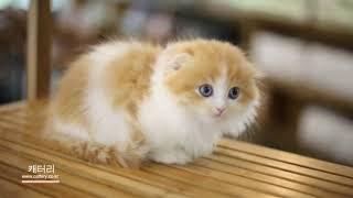 영상으로 먼치킨킬트 고양이분양 고민 해결! [상동,중동…