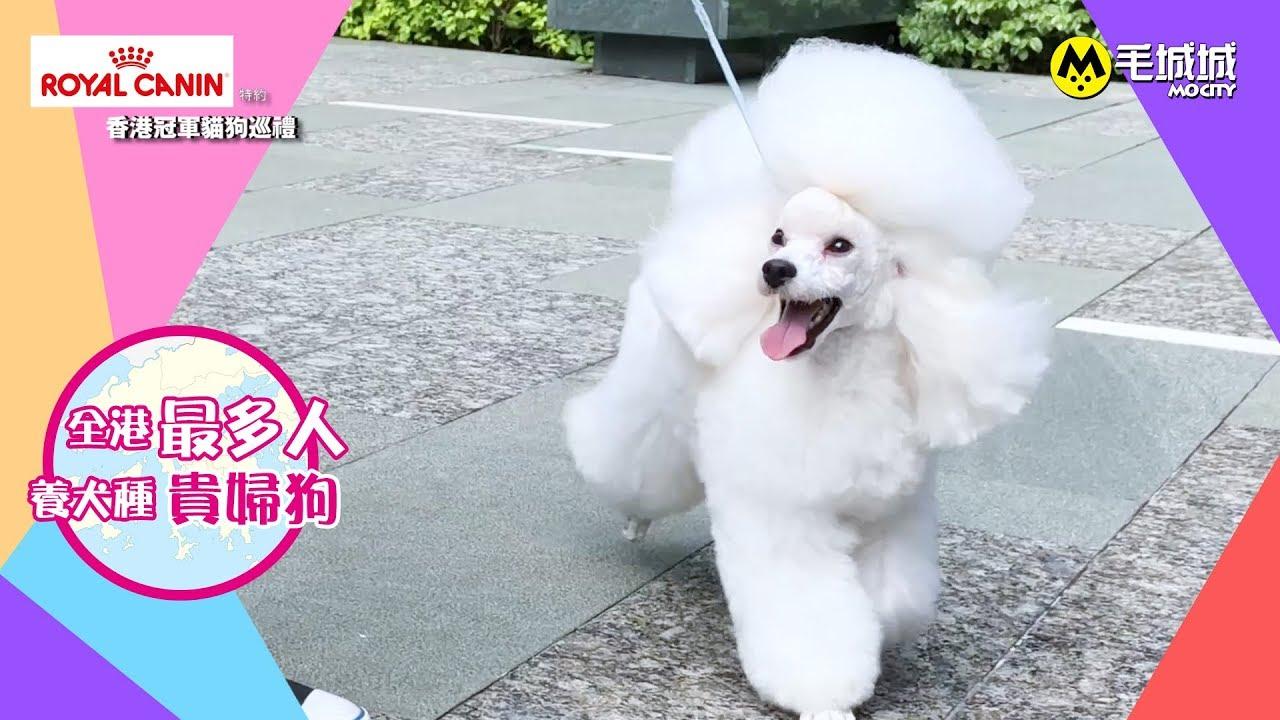 【Royal Canin特約 香港冠軍貓狗巡禮】全港最多人養犬種 貴婦狗 - YouTube