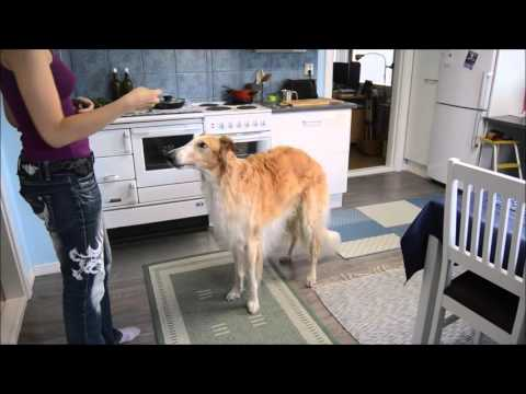 Salsa borzoi doing some tricks