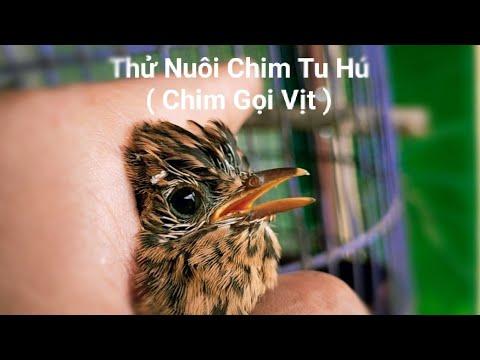 Nghe Lời Các Bạn Thử 1 Lần Nuôi Chim Tu Hú - Chim Gọi Vịt / Quế Nghịch
