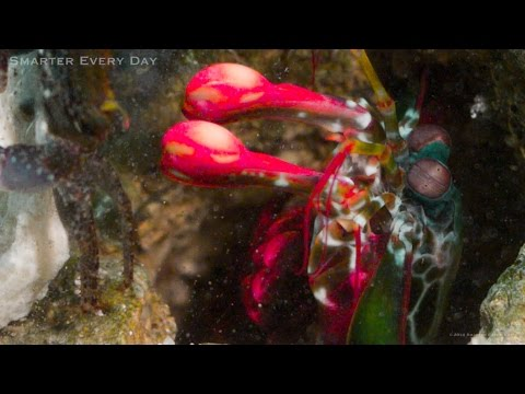 mantis-murder-shrimp-(slow-motion)---smarter-every-day-121