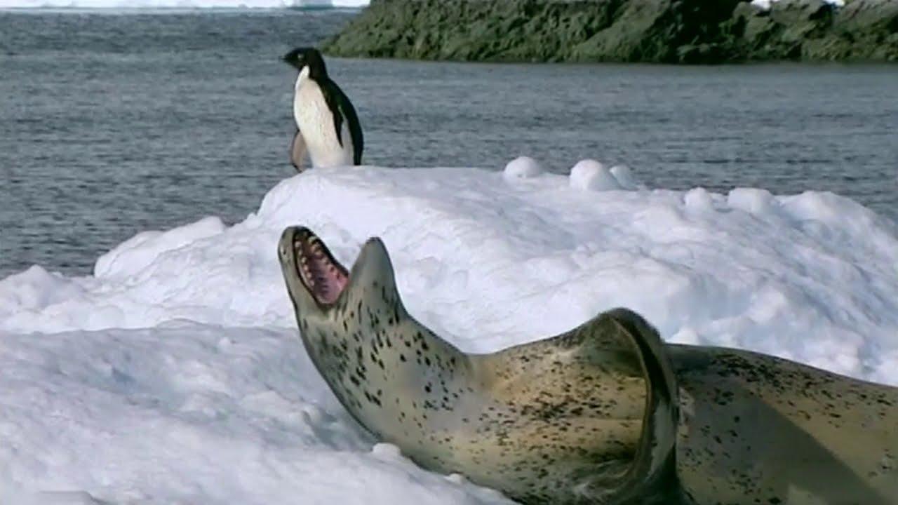 LEOPARD SEAL'S SHAR - Wild Life Documentary