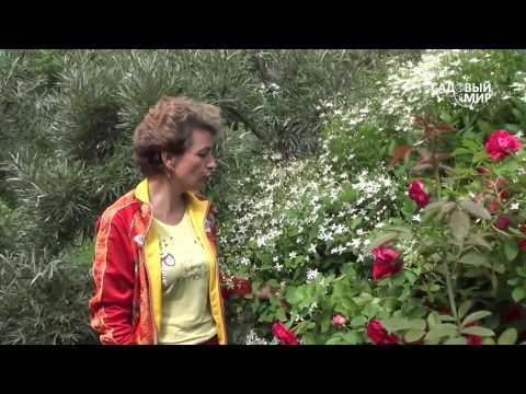 """Неприхотливые растения для сада  Клематис жгучий. Сайт """"Садовый мир"""""""