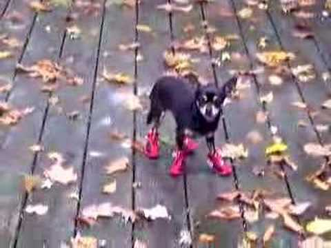 Hilarious Dog in Boots