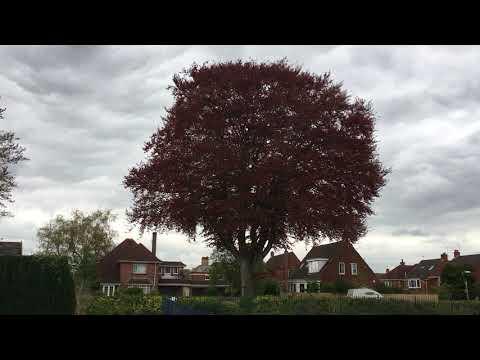 Copper Beech (Fagus sylvatica f. purpurea) - tree - April 2018