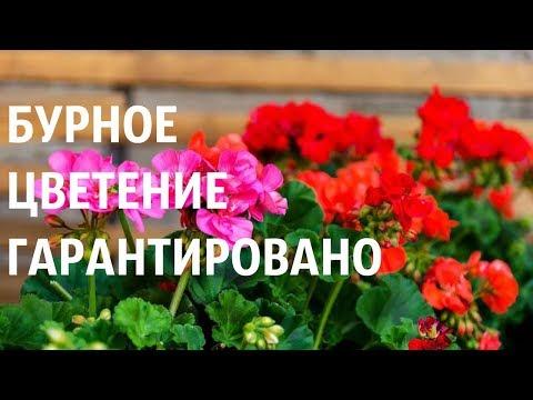 ИСПОЛЬЗУЙТЕ ЭТУ СМЕСЬ - бурное цветение ПЕЛАРГОНИЙ ГАРАНТИРОВАНО!