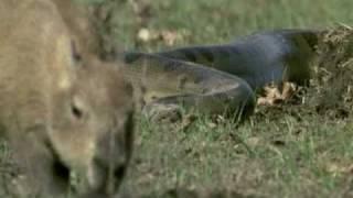 Repeat youtube video Discovery - Duelo animal entre uma onça pintada e uma sucuri