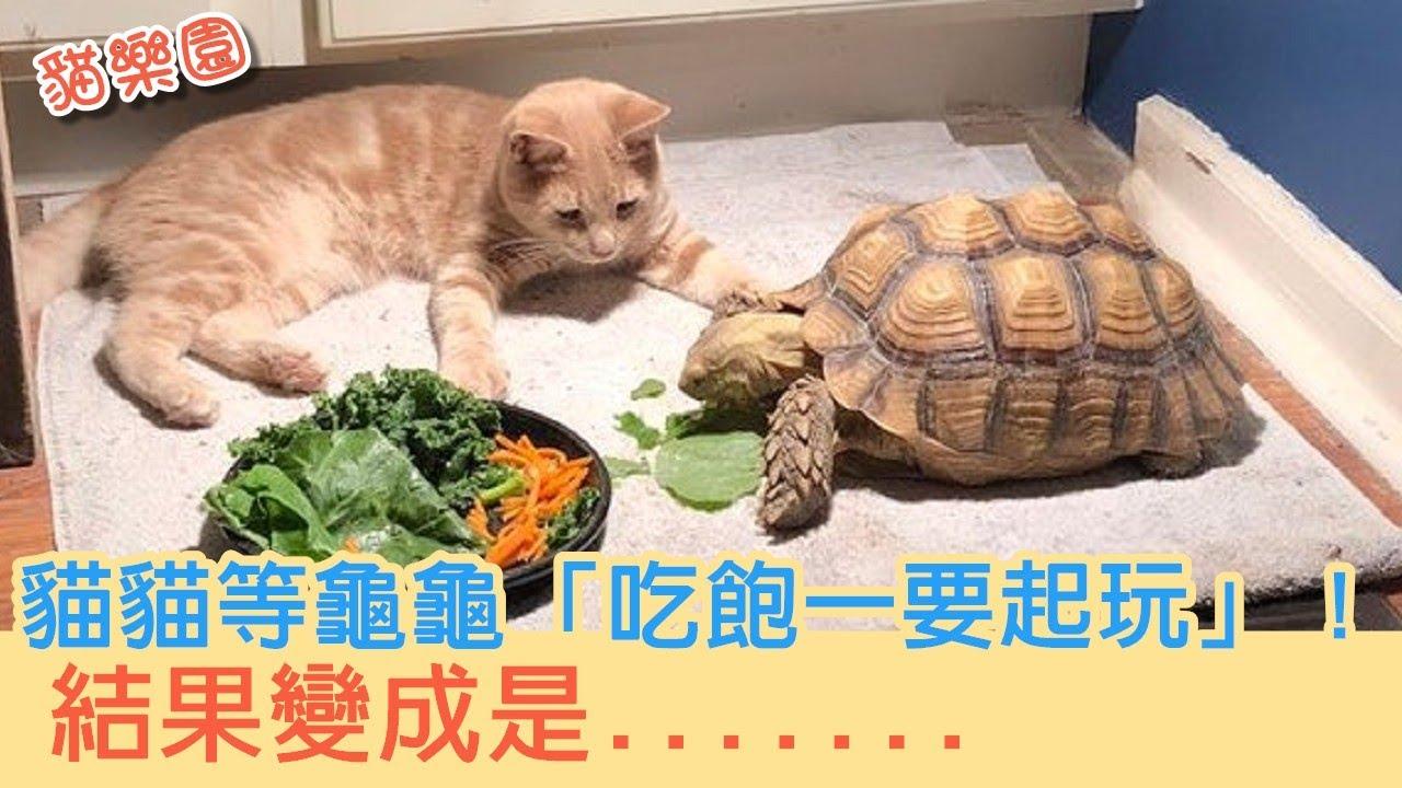 貓貓等龜龜「吃飽一要起玩」!結果卻是.......
