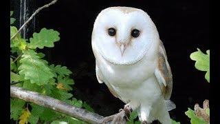 Burung Hantu Lagu Anak Indonesia