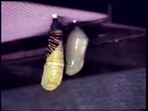 Monarch Caterpillar to Chrysalis Timelapse