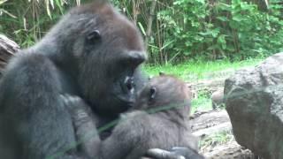 SO MANY BABY GORILLAS! | The Bronx Zoo | July 14th, 2016