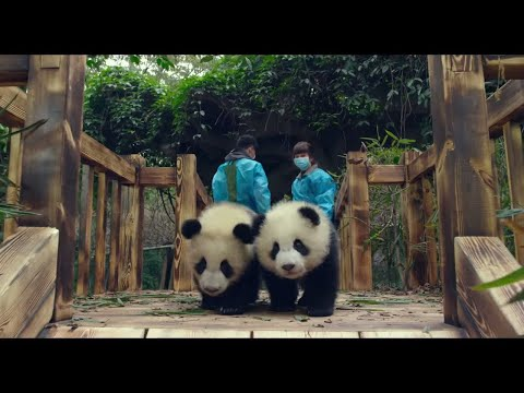 Pandas (2018) | OFFICIAL TEASER