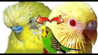 هذا هو سبب تساقط الريش حول عين طائر البادجي والكناري / انتبه حتى لا تقع في هته المشكلة المرضية