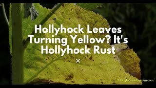 Hollyhock Leaves Turning Yellow? It's Hollyhock Rust and Here Are Your Organic Gardening Options