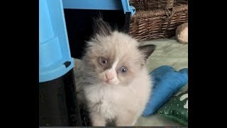 Bringing Home Sick Kittens From Local Shelter - #1 - New Blended Cat Family