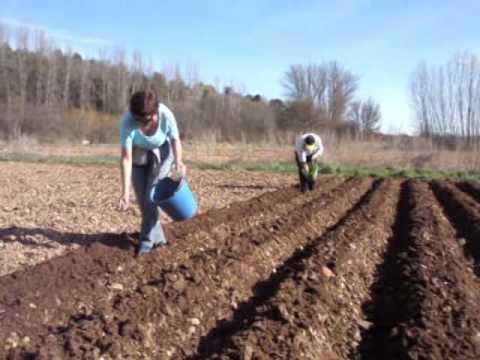 Siembra patatas i youtube for Como cultivar patatas