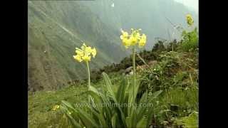 Rare Himalayan bloom: Primula stuartii flowers above Dodital