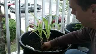 How to grow garlic in containers