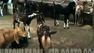 Eid Goats 2012   Qureshi Farm, Rajasthan India