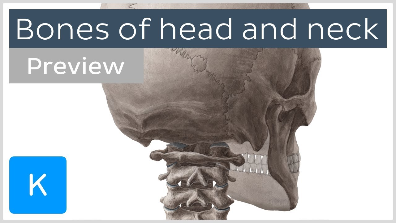 Bones Of The Head And Neck Skull And Cervical Spine Preview
