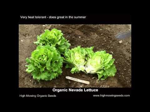 Organic Nevada Lettuce