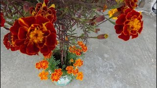 Marigold cutting, planting and growing