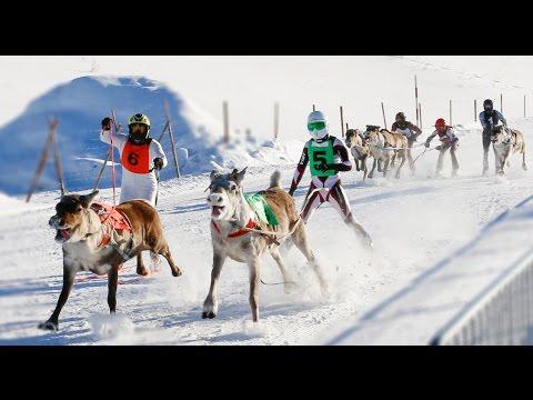 Reindeer Races in Rovaniemi area in Lapland Finland - Poroajot Rovaniemi Ranua Porokilpailut