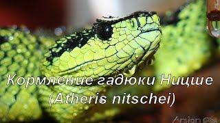 Кормление чёрно-зелёной лесной гадюки Ницше (Atheris nitschei)