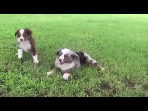 Available Red Tri & Blue Merle Mini/Toy Australian Shepherds